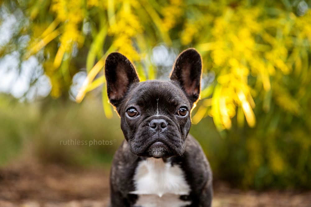 french bulldog puppy sitting in front of wattle tree