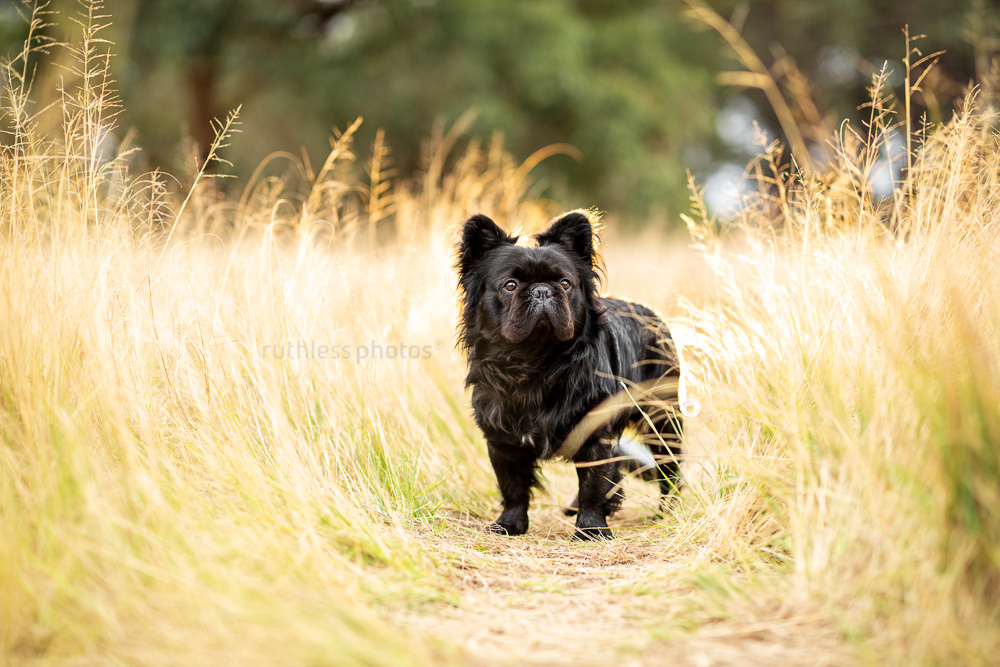 long haired french bulldog posing in long grass at sunset