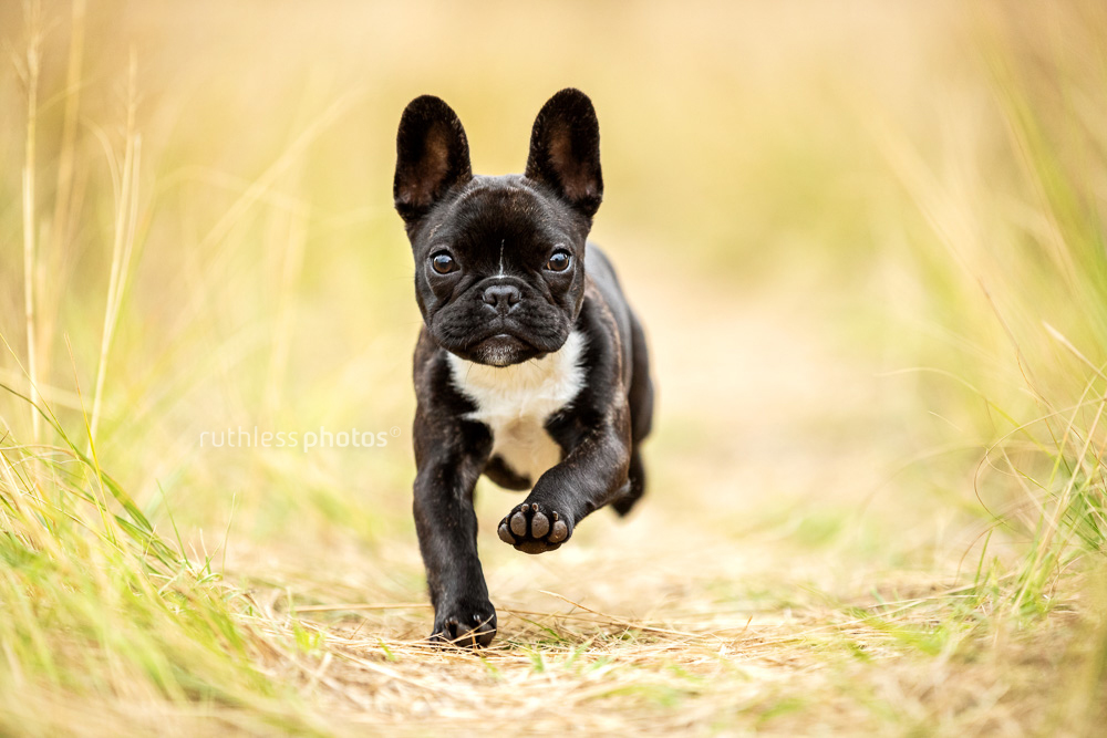 french bulldog puppy running through long grass