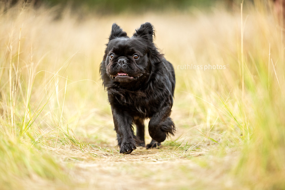 long haired french bulldog running through long grass