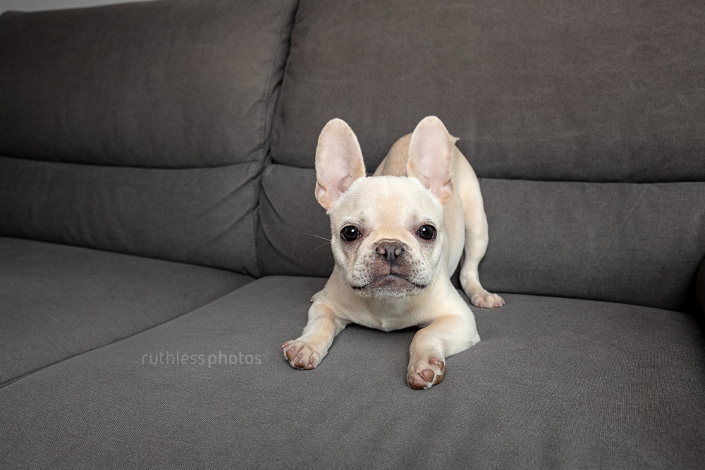 Bailey the Frenchie – Pet Photography Sydney - ruthless photos