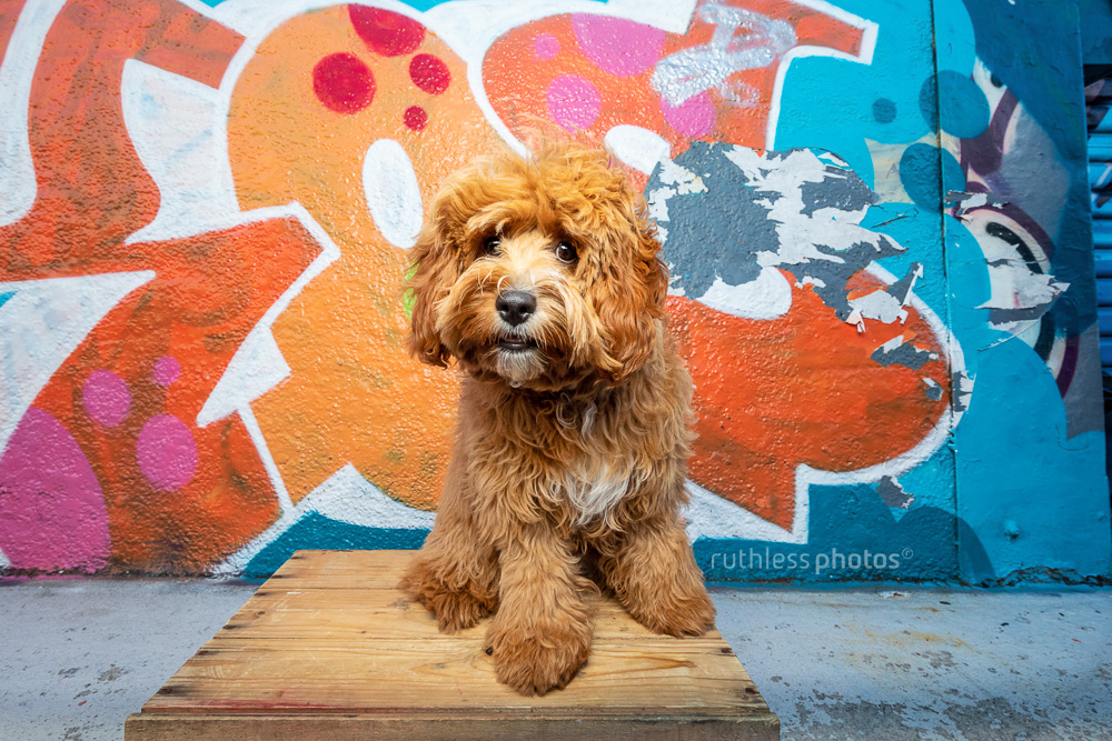 red cavoodle puppy sitting on wooden box in front of graffiti wall