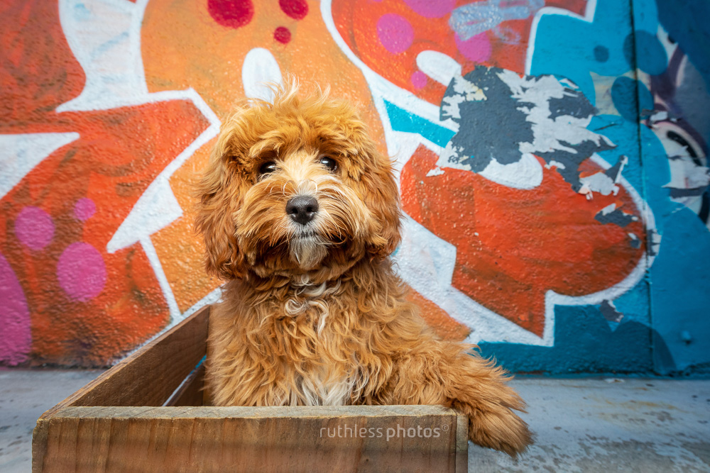 red cavoodle puppy sitting in wooden crate in front of graffiti wall
