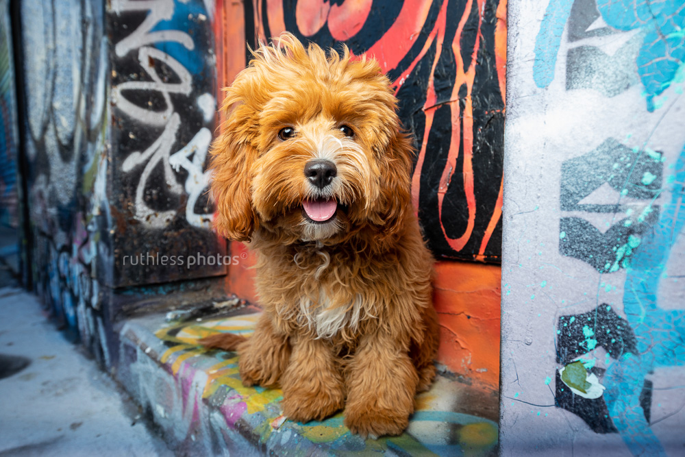 windswept oodle puppy sitting in graffitied doorway