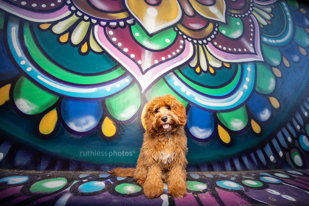 red cavoodle puppy sitting in front of graffiti wall with head tilt