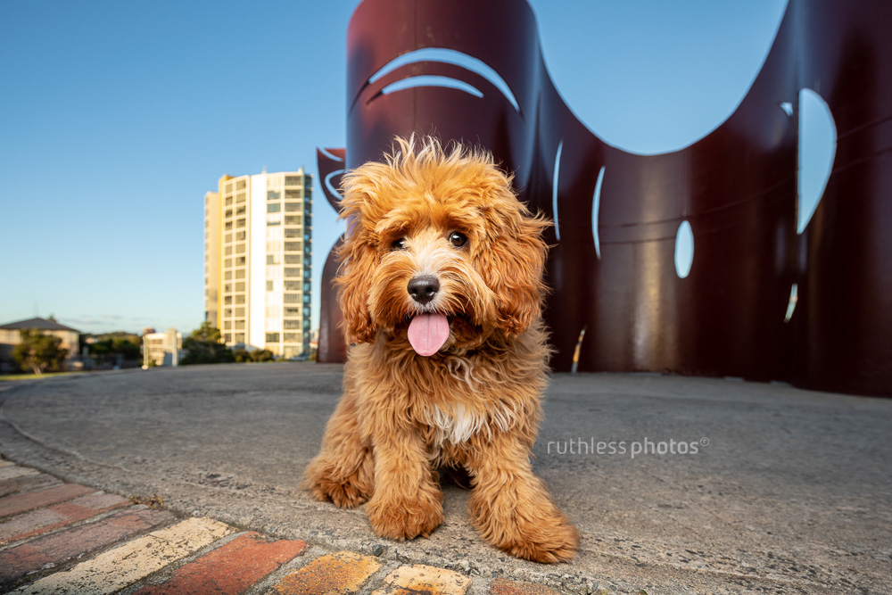 red oodle puppy sitting in front of maroon sculpture in Sydney Park