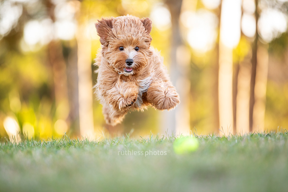 flying oodle puppy mid air