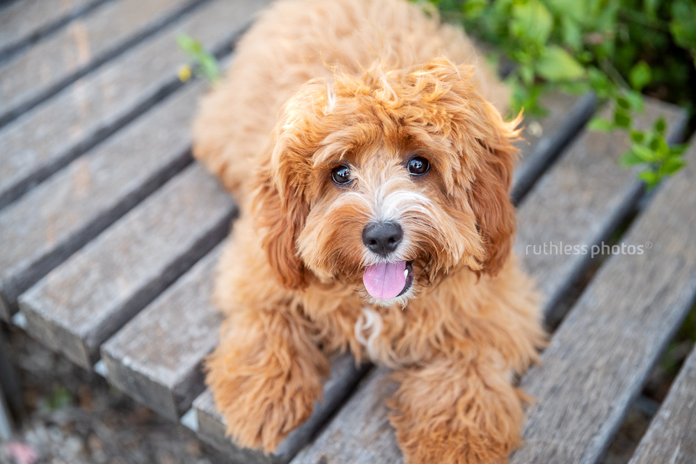 happy red cavoodle lying on wooden bench looking up at camera