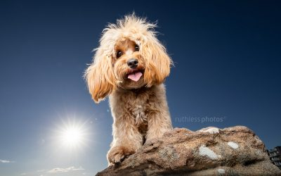 Alfie the Cavoodle – Dog Photographer Sydney