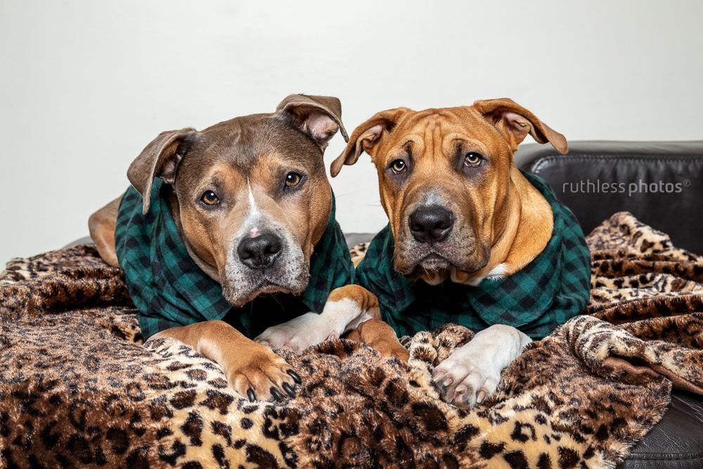 two pit bull type dogs wearing lumberjack shirts