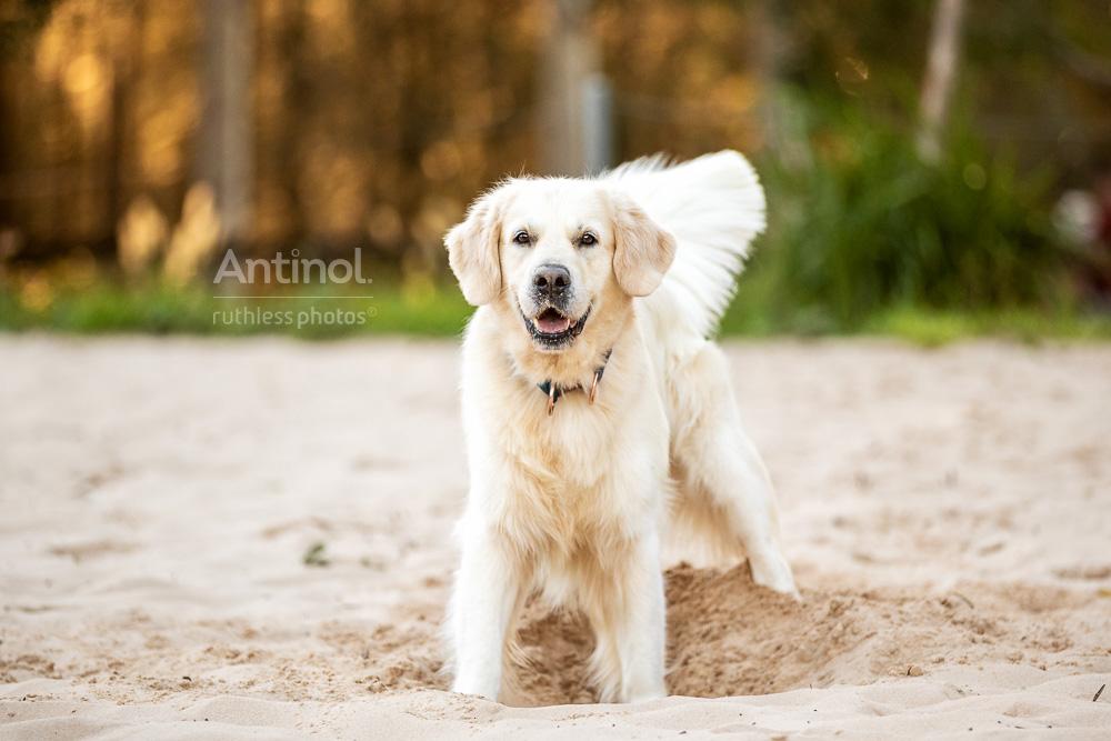 happy golden retriever playing on sand antinol