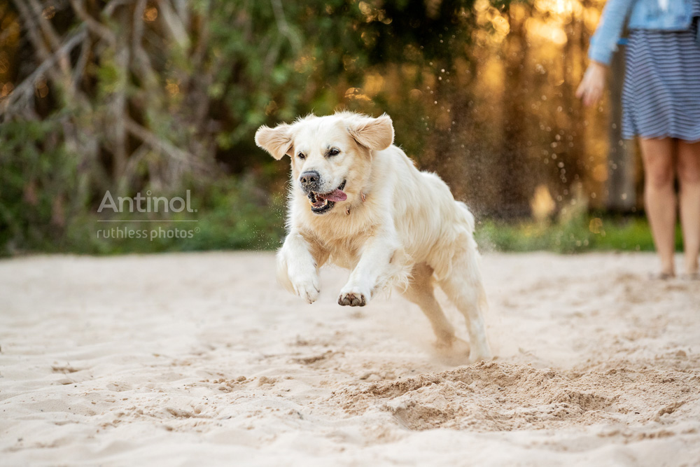 happy golden retriever running on sand antinol