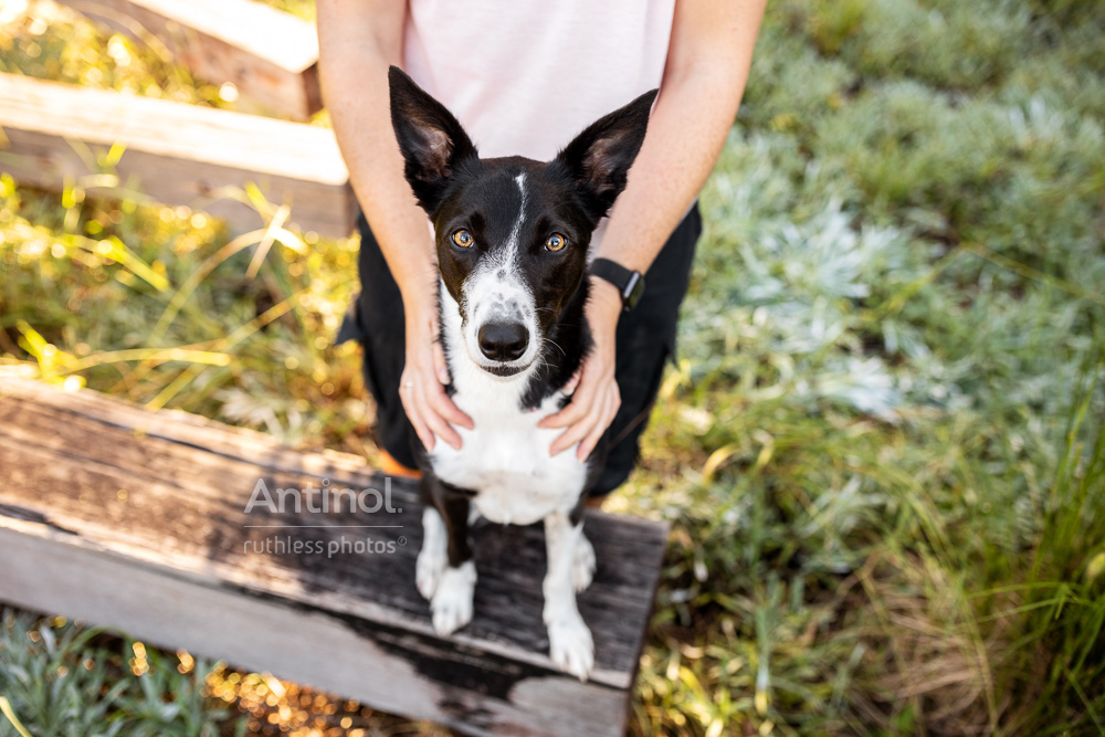 black and white border collie mix sitting with owner from above antinol