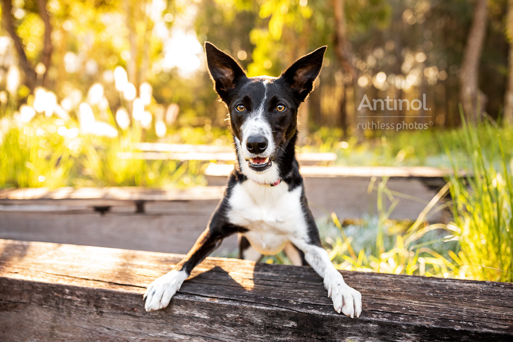 smiling black and white border collie mix standing with front legs on wooden beam antinol