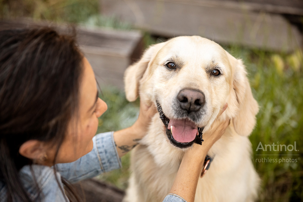 happy golden retriever with face in owners hands antinol