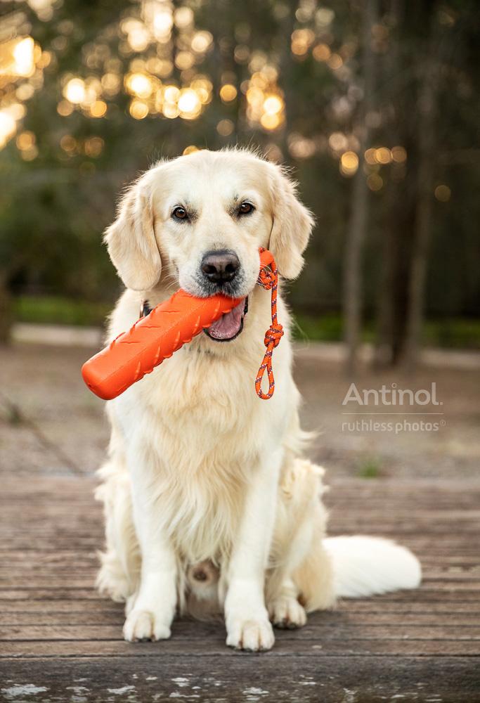 handsome golden retriever holding orange kong toy in mouth antinol