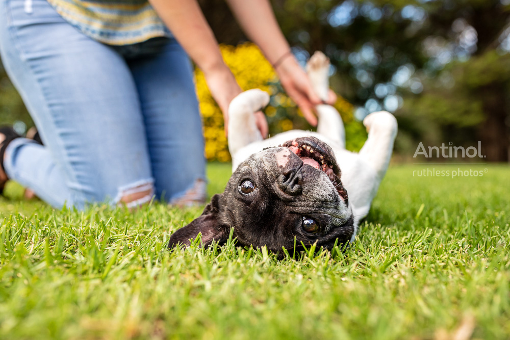 upside down french bulldog antinol