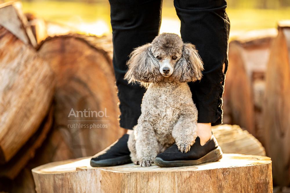 poodle between owners legs antinol