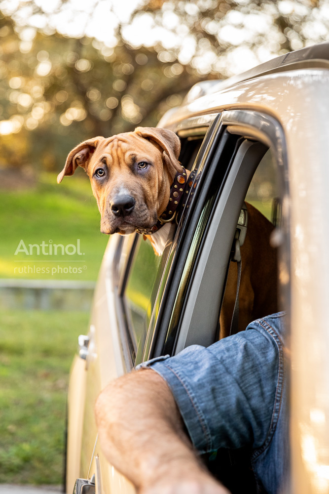 pit bull looking out car window antinol