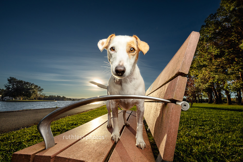 little white terrier mix dog standing on bench with OCF