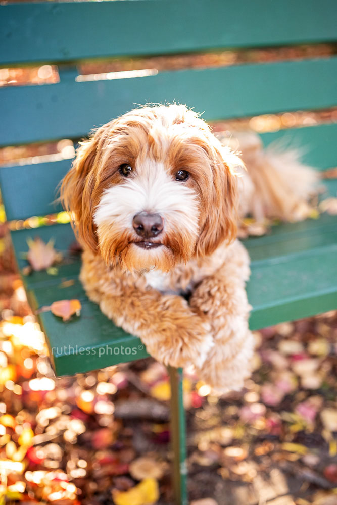 oodle lying on green bench with autumn leaves in Canberra