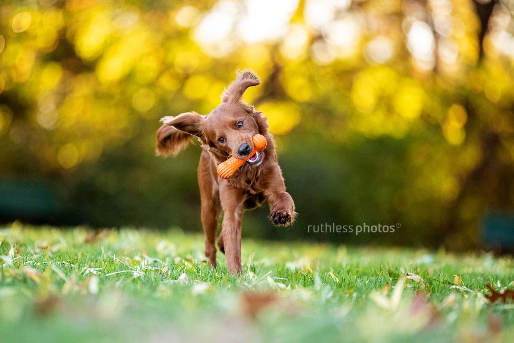 red dog running with orange toy