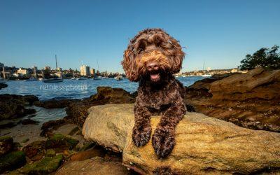 Dexter the Labradoodle Pt2 – Sydney Dog Photos