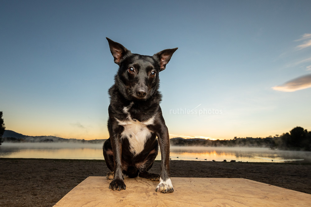 little black terrier sitting in front of misty lake at sunrise in canberra