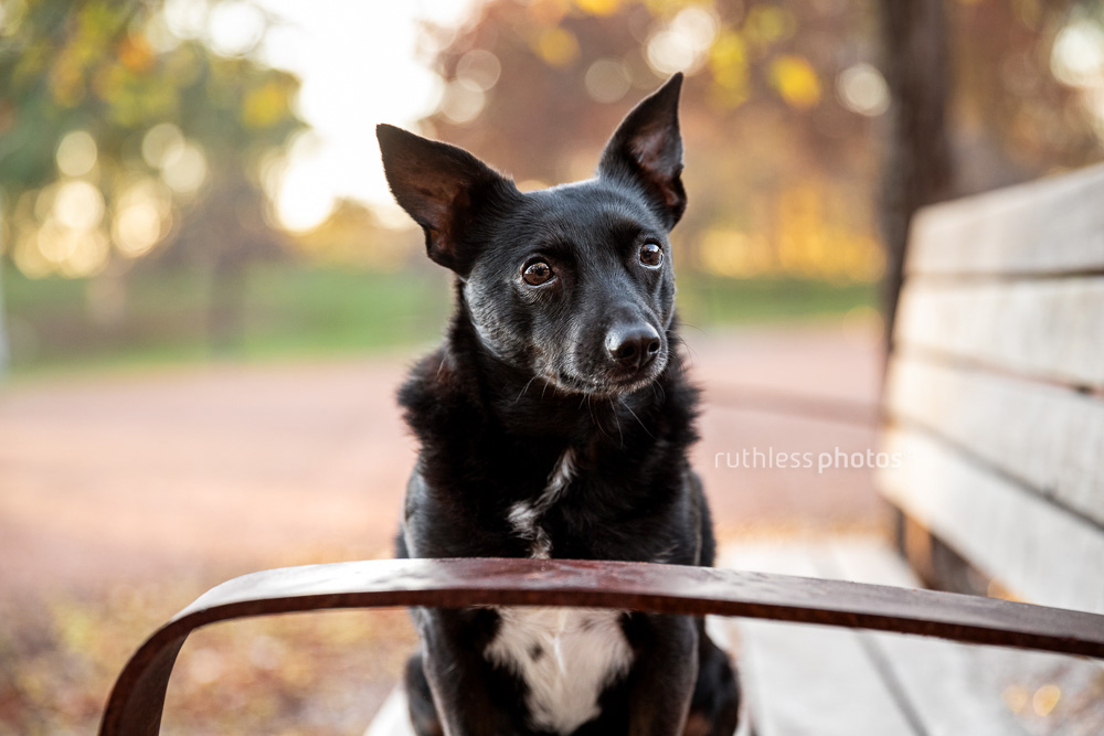 little black dog on a bench in a park in Canberra in autumn