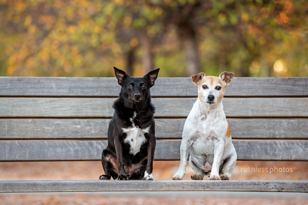 two little dogs sitting on a bench in park in autumn in canberra