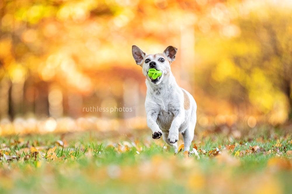 little old white dog running through autumn leaves