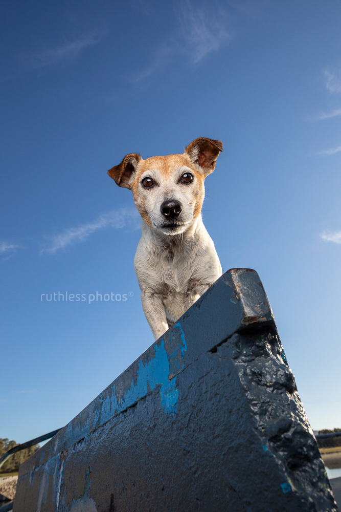 jack russell standing at a skate park against a blue sky
