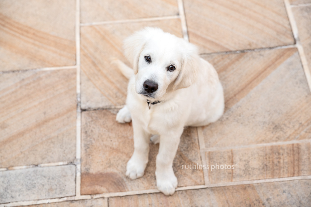 golden retriever puppy sitting on sandstone steps with head tilt