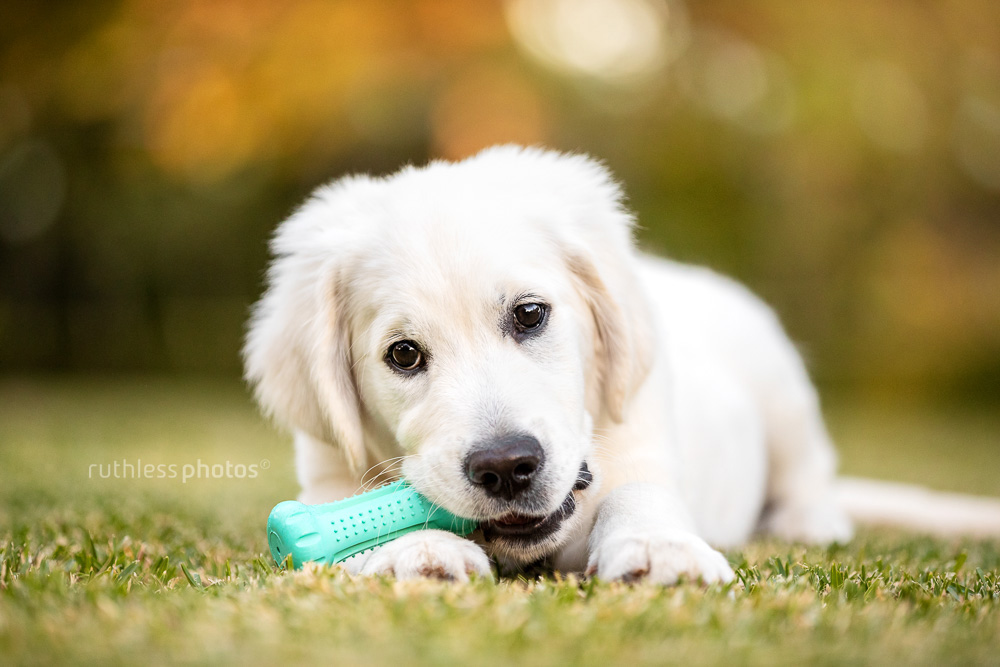 golden retriever puppy chewing on toy in garden
