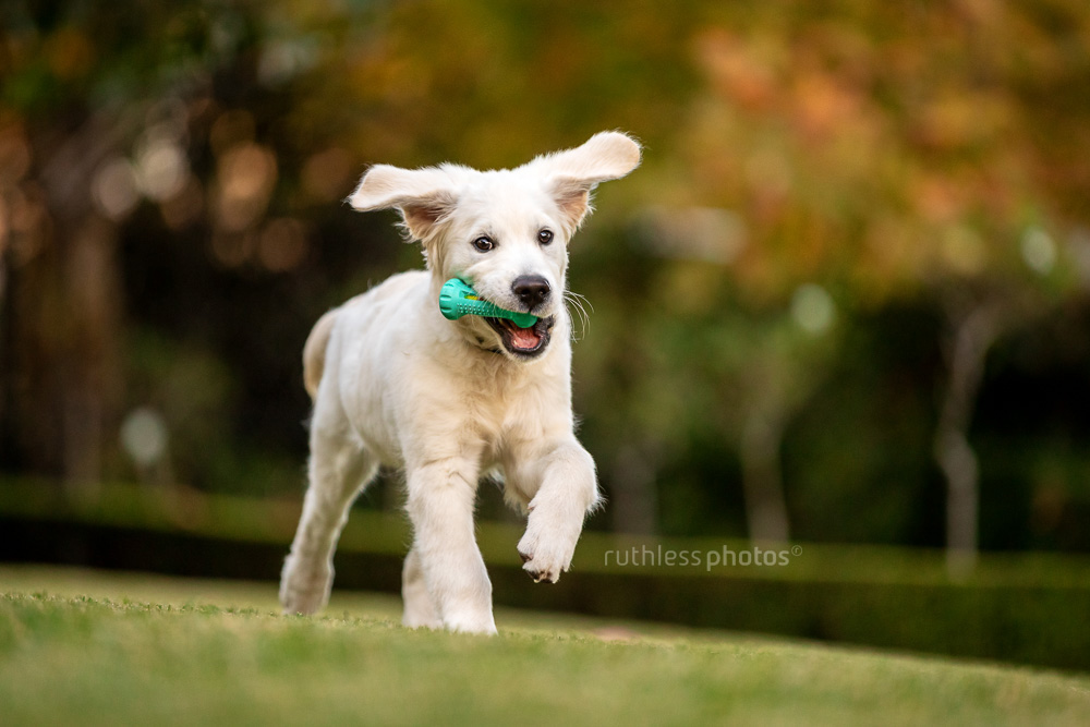 golden retriever puppy running with toy in garden