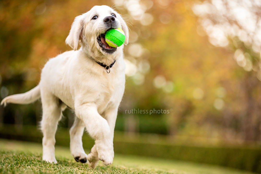 golden retriever puppy running with ball