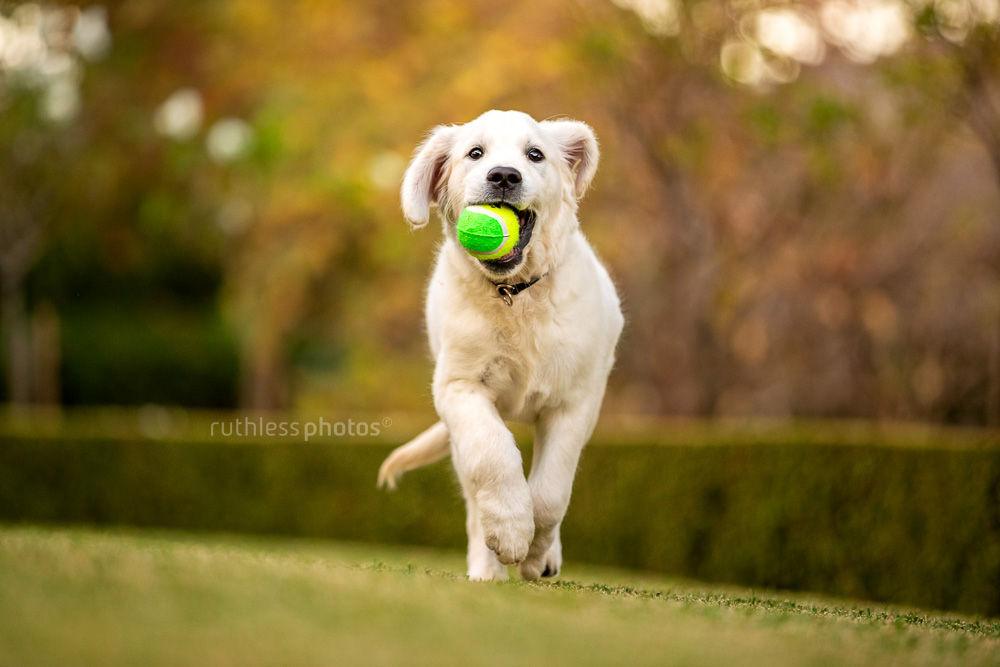 golden retriever puppy running towards camera with ball in mouth