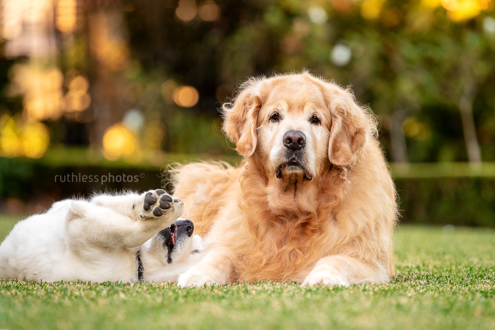senior and puppy golden retrievers