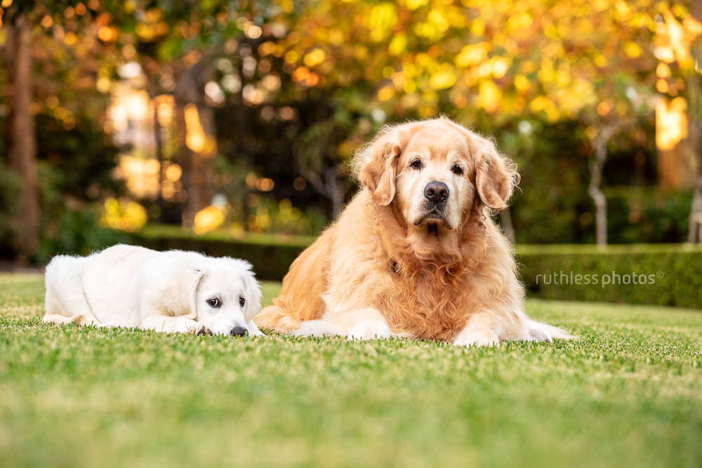 senior and puppy golden retrievers laying on grass together