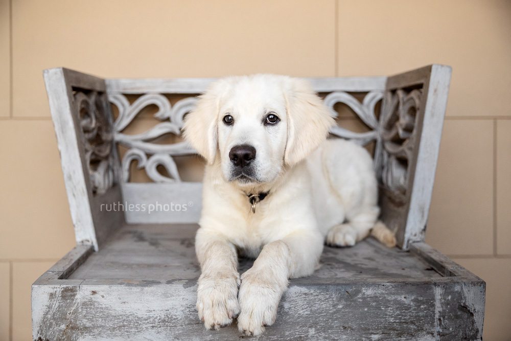 golden retriever puppy lying on decorative wooden throne