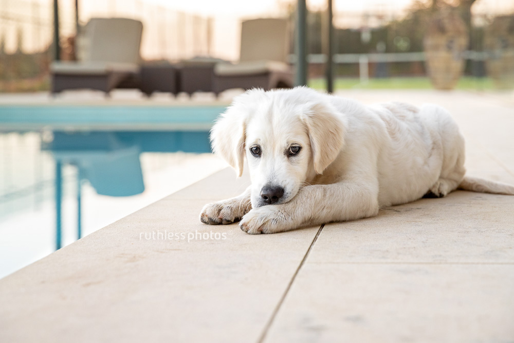 golden retriever puppy lying on ground beside swimming pool looking sad