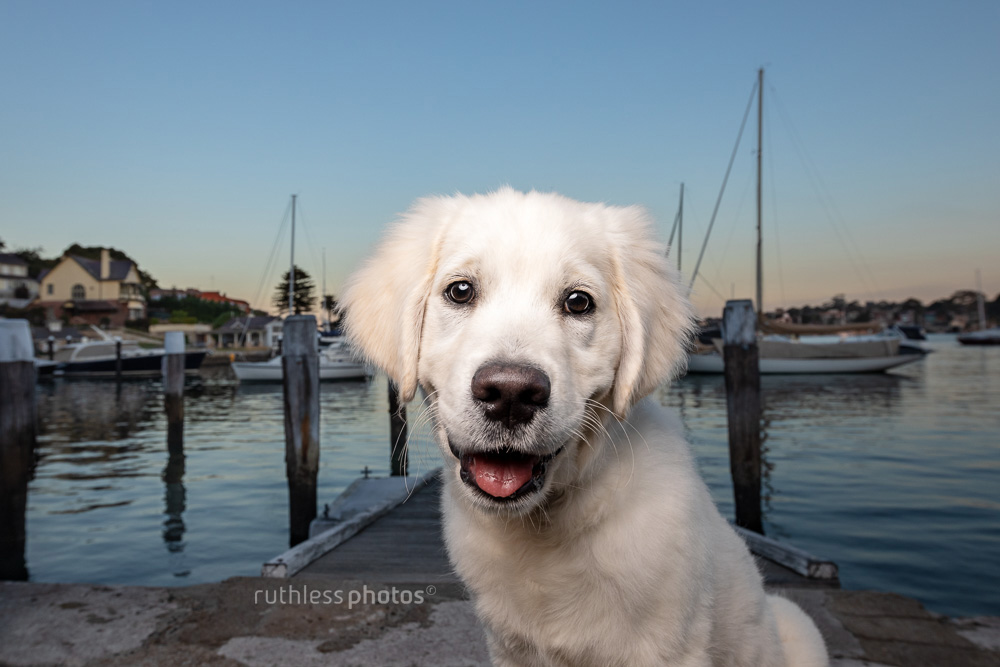 happy golden retriever puppy sitting on a wooden jetty waterside