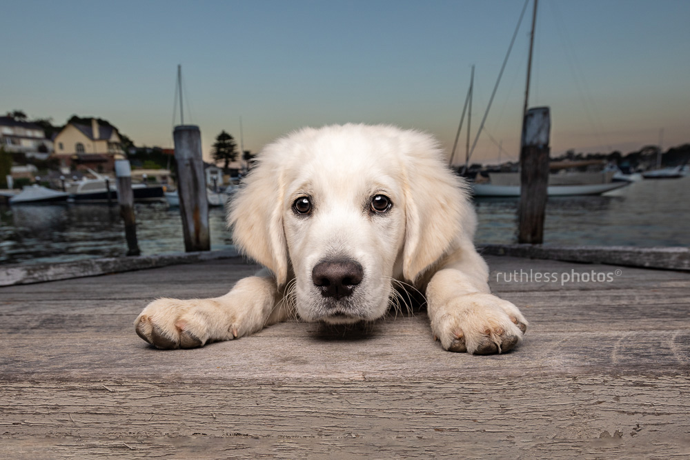 sad golden retriever puppy lying on a wooden jetty waterside