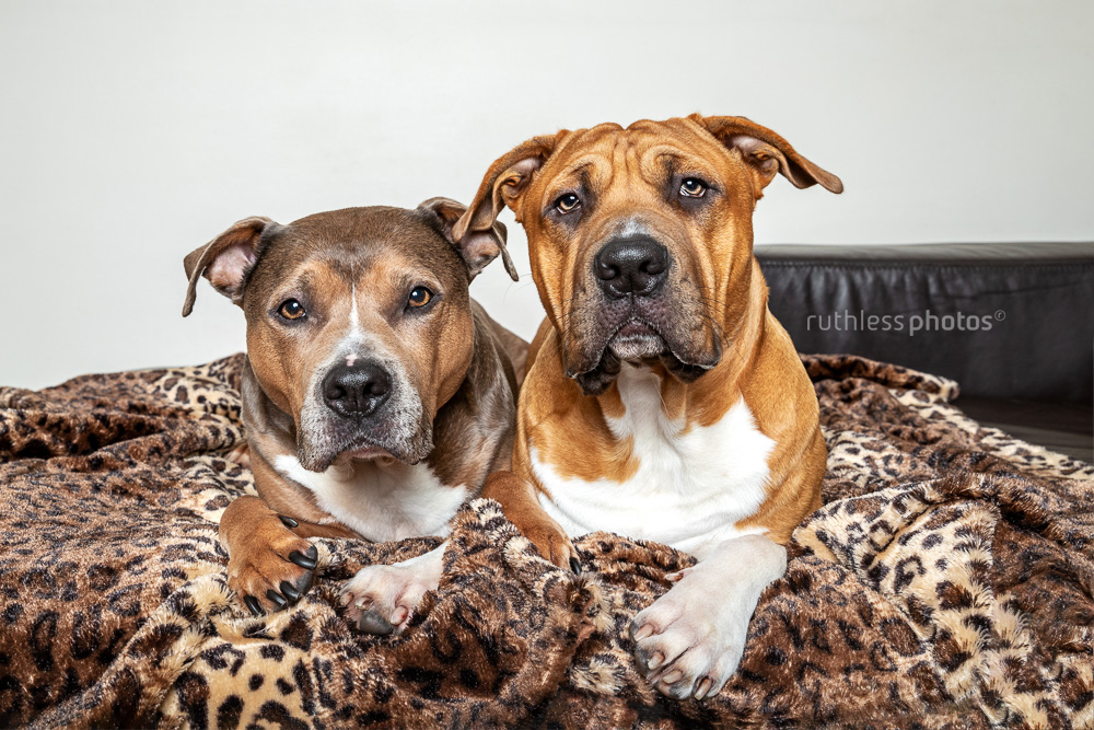 two pit bull type dogs on leopard blanket