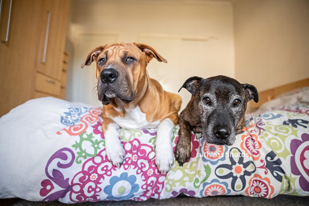 two pit bull type dogs lying on bed