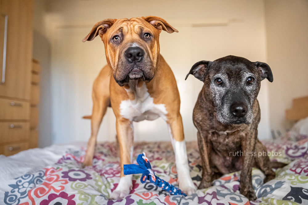 two pit bull type dogs playing on bed