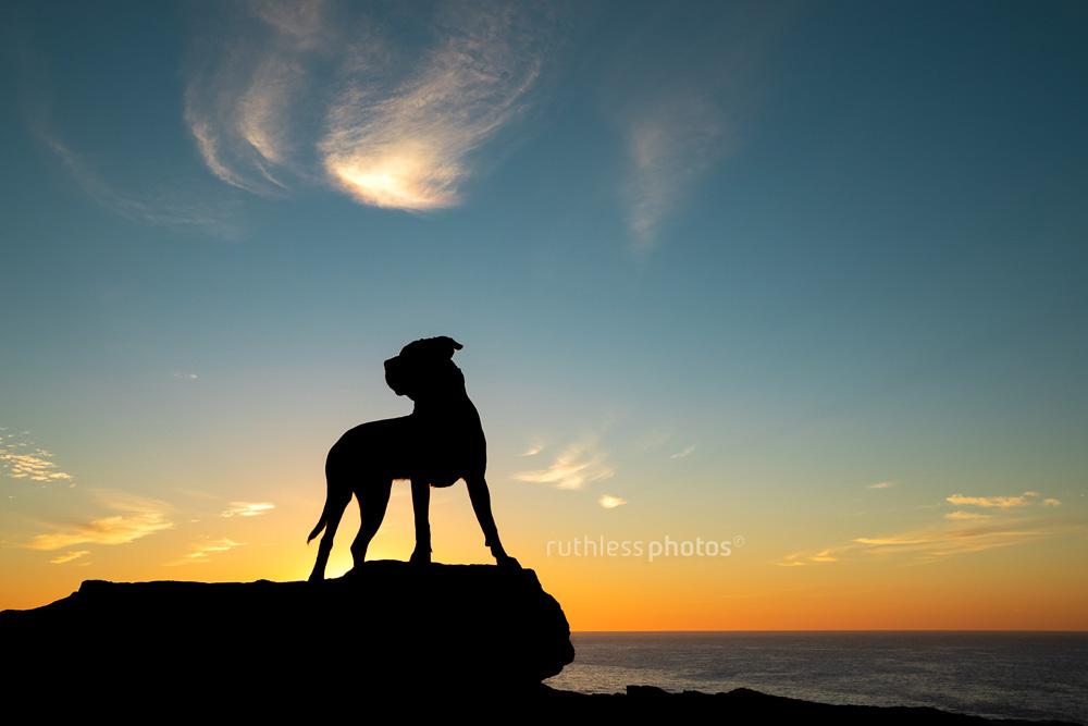 pit bull silhouette at sunrise