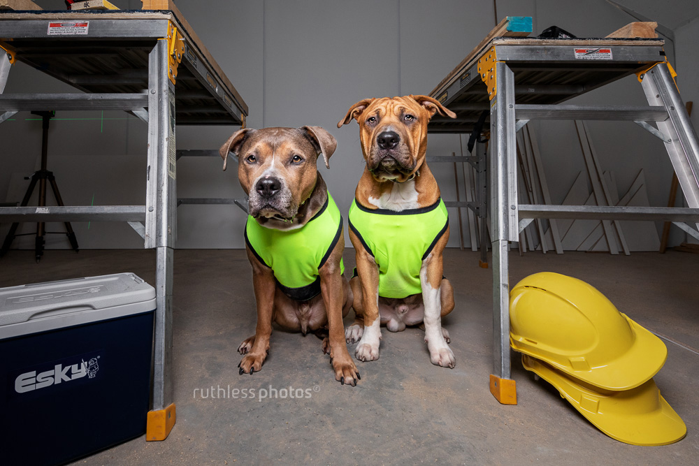 two tradie dogs on take your dog to work day