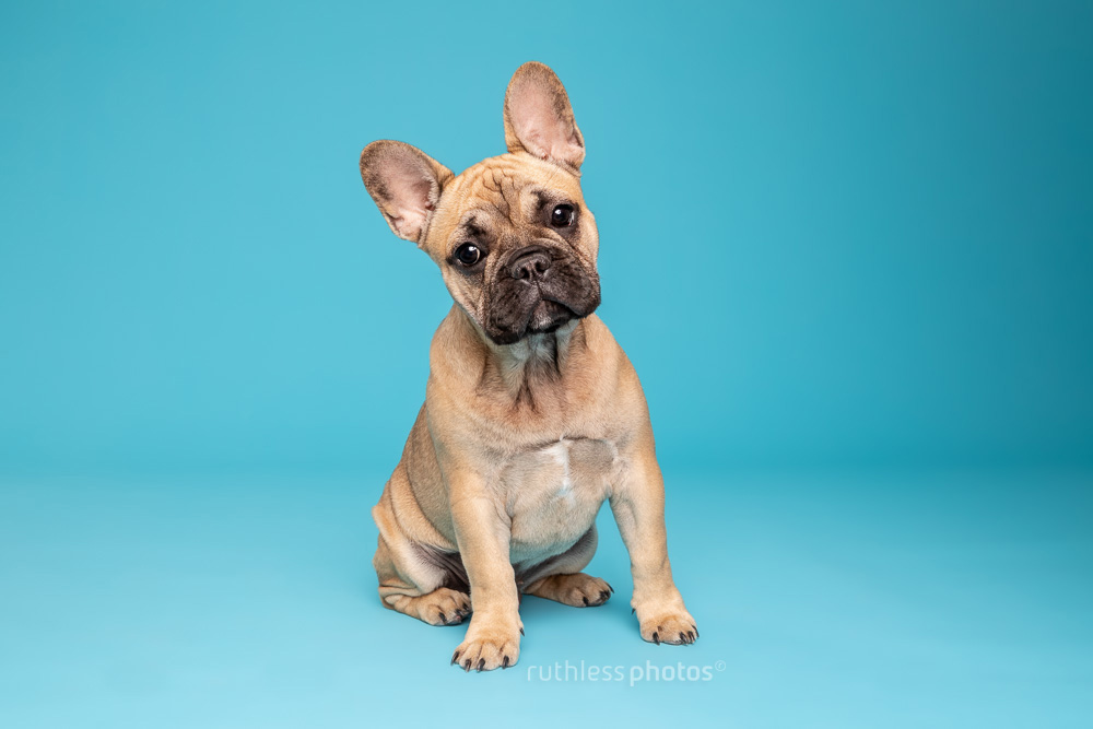 fawn french bulldog puppy sitting on blue backdrop with head tilted