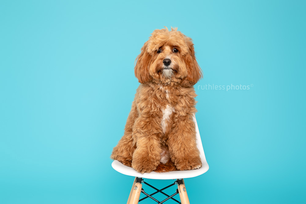 red cavoodle sitting on white chair on blue backdrop